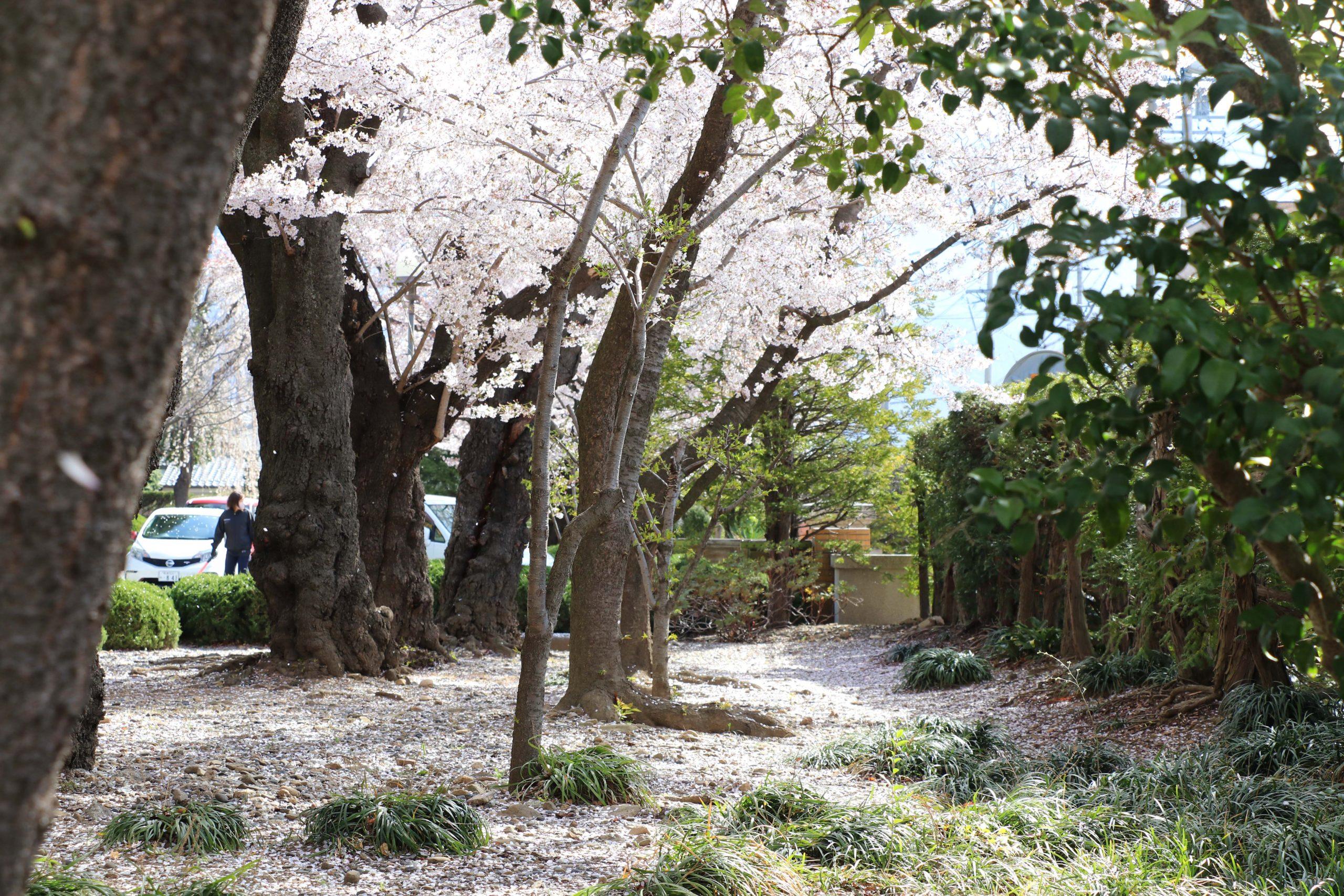 入学式の桜_1棟南の庭